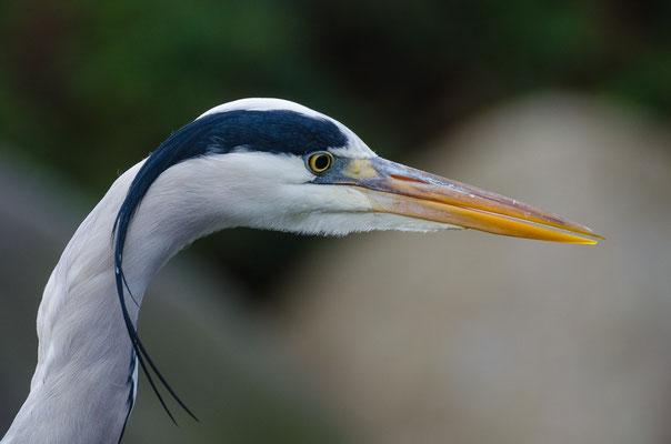 Graureiher - Ardea cinerea - grey heron