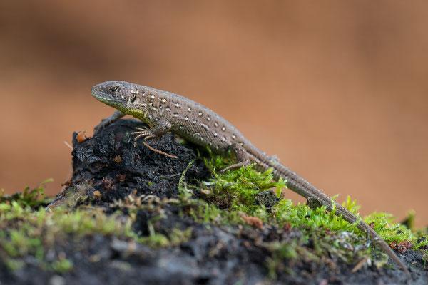 Zauneidechse - Lacerta agilis - sand lizard