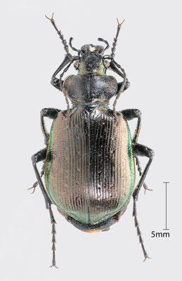 Calosoma inquisitor (Linnaeus, 1758) | Kleiner Puppenräuber