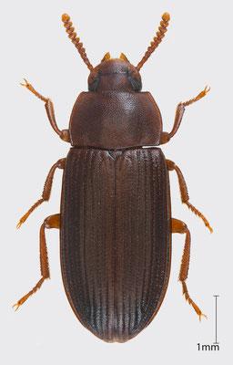 Cynaeus angustus (LeConte, 1851) | Schwarzkäfer