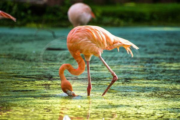 Flamingo, Rosa, Orange