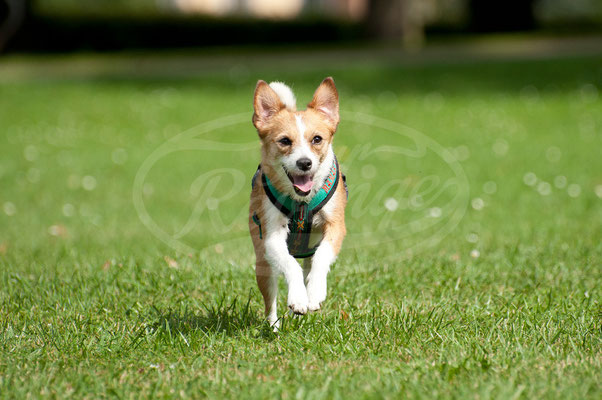 Hund rennt