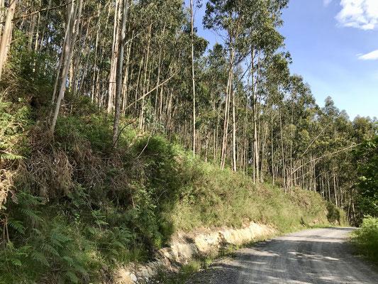 Énormément de forêts d'eucalyptus cultivés pour le papier.