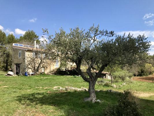 Chateau Renard et l'olivier où s'est pendu Ugolin