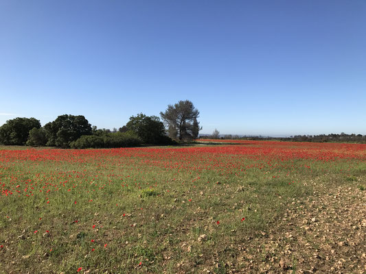 Des champs de coquelicots