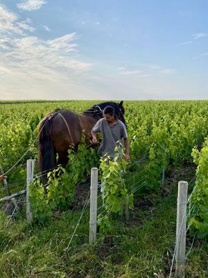 Quelques vignerons réutilisent les chevaux ( marketing ou écologie ?)