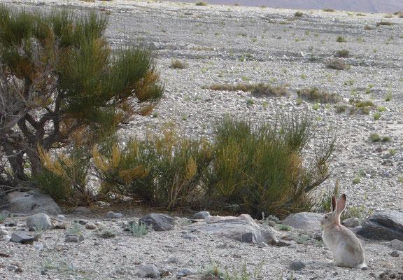 Hunderte von kleinen Wildhasen gibt es in Sughet Jungal. Wenn man sich ihnen nähert stieben sie auseinander und verschwinden in ihren Löchern zwischen den Felsen © Ralf Dujmovits