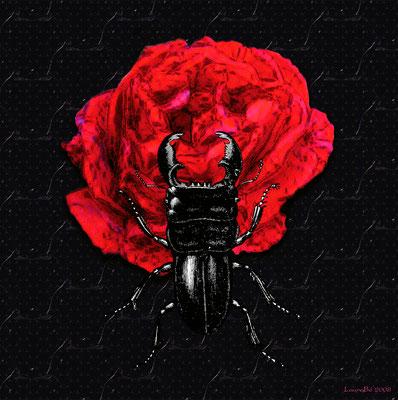 Lucane noire - 2008