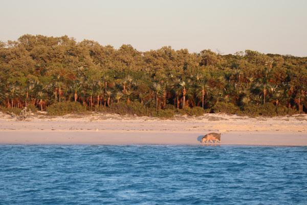 """nördlich der Insel """"Staniel Cay"""", wo auch die Thunderball-Grotte"""" aus dem James Bond Film ist, gibt es einen Strand mit Schweinen, die dort mehr oder weniger """"wild"""" leben und von Touristen gefütterte werden. Witzig!"""