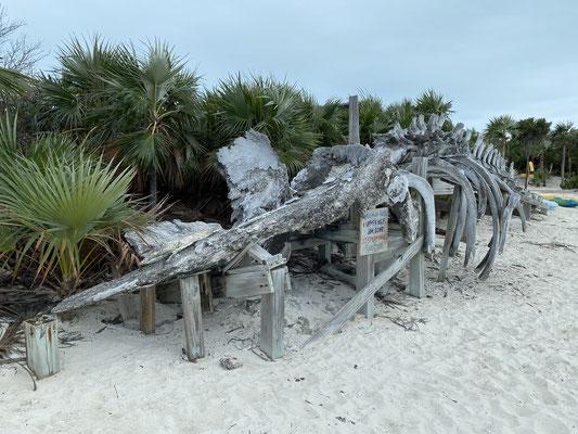 Im Land&Sea Park auf Warderick Wells Cay liegt ein großes Walskelett ....