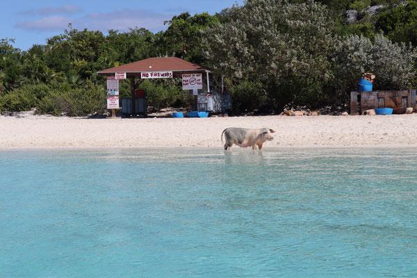 Auf meiner Rückfahrt Richtung Norden habe ich gleich nochmal einen Stopp bei den schwimmenden Schweinen gemacht ... irgendwie eine putzige Atmosphäre, wenn man vom Boot aus die Tiere beobachten kann!