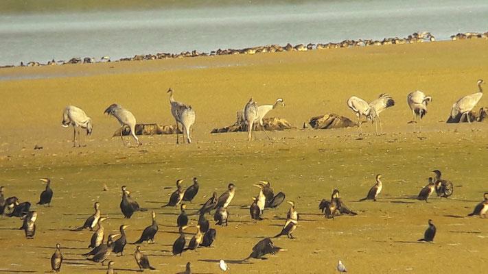 Grue cendrée (Grus grus) & Grand Cormoran (Phalacrocorax carbo)