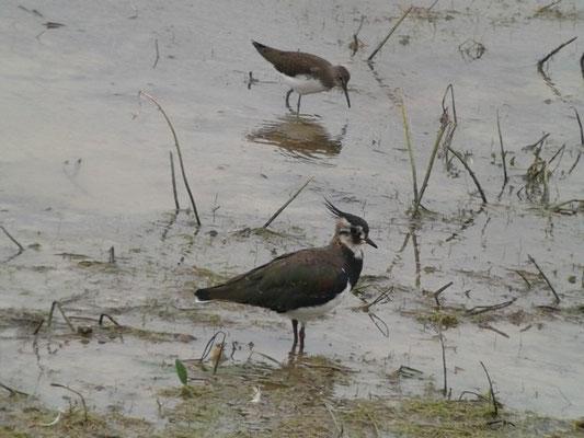 Vanneau huppé (Vanellus vanellus) et Chevalier culblanc (Tringa ochropus)