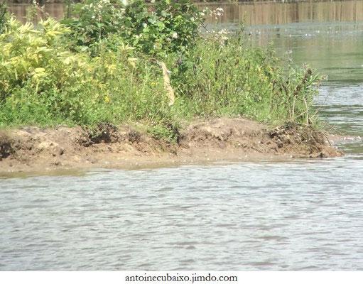 Crabier chevelu (Ardeola ralloides)