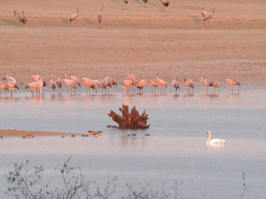 Grues cendrées (Grus grus) au Lac du Der le 09 octobre 2015