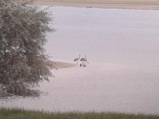 Grues cendrées (Grus grus) au Lac du Der le 08 octobre 2015