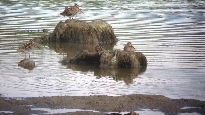Bécassine des marais (Gallinago gallinago)