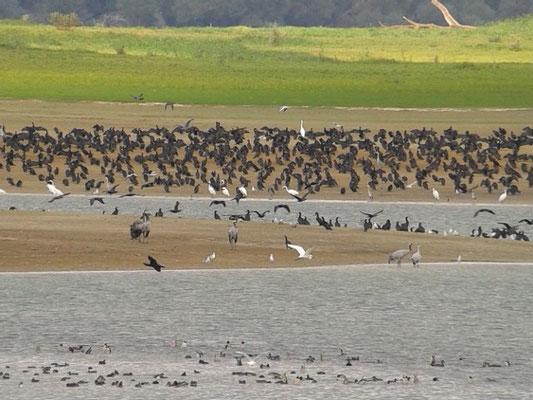 Oiseaux migrateurs au Lac du Der le 09 octobre 2015