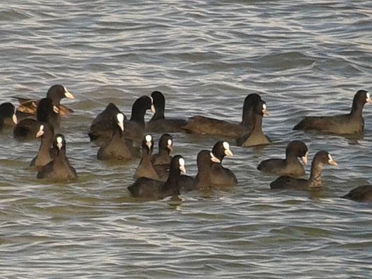 Foulque macroule (Fulica atra) au Lac du Der le 18 septembre  2015