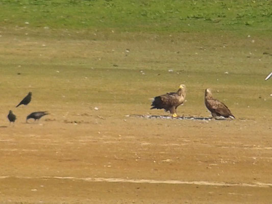 Couple de Pygargue à queue blanche (Haliaeetus albicilla) au Lac du Der le 09 octobre 2015