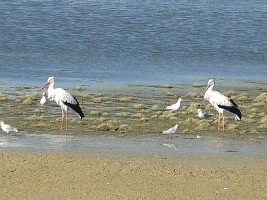 Cigogne blanche (Ciconia ciconia) et  Mouette rieuse (Chroicocephalus ridibundus) au Lac du Der le 01 octobre 2015