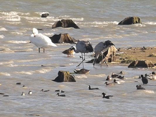 Cygne tuberculé (Cygnus olor)  et Grue cendrée (Grus grus) au Lac du Der le 30 septembre  2015