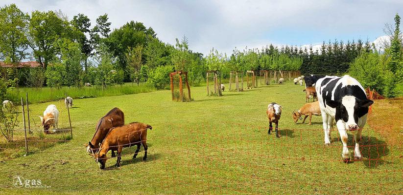 "Immobilienmakler Letschin - ""Glückliche Kühe & Ziegen"" in Letschin"