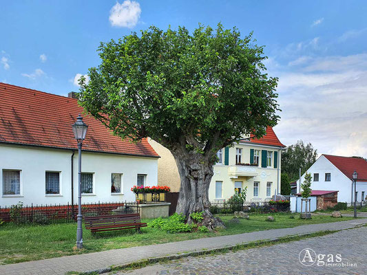 Immobilienmakler Berlin-Rahnsdorf - Die alte Dorf-Ulme in Rahnsdorf