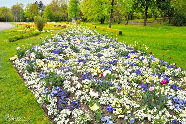 Berlin-Britz - Tulipan im Britzer Garten (2)