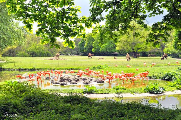 Berlin-Friedrichsfelde - Im Tierpark, Flamingos