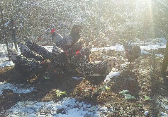 Zuchtstamm Barthühner silber-schwarzgetupft