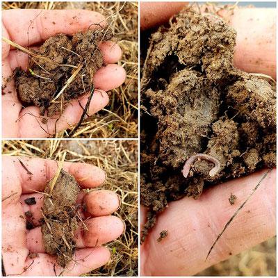 Die Struktur des Bodens ändert sich und mehr und mehr Erdwürmer sind zu finden.