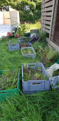 Am 2. September ist es soweit: Ganz viele Pflanzen aus dem Tiroler Küchengarten sind in Oberwart angekommen und wollen in die Erde.