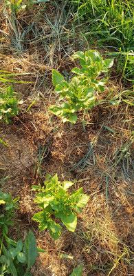 Auch übrig gebliebene Kartoffeln von dem Tiroler Garten, gesetzt Anfang Juni, sind glücklich.
