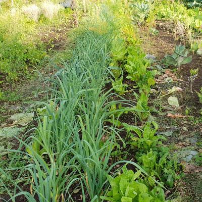 Maximale Mischkultur, Flächenkompostierung an Ort und Stelle.