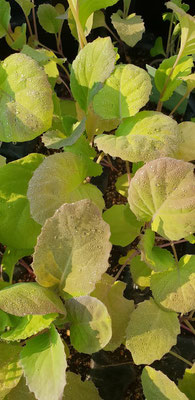 Nun sind die ersten Kohlgewächse dran, Jungpflanzen von Gartli Vielfaltsgärtnerei. Im Bild: Goldwirsing.