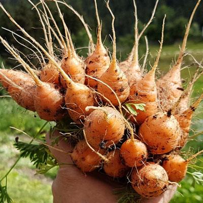 Ungewaschen halten Karotten länger frisch.