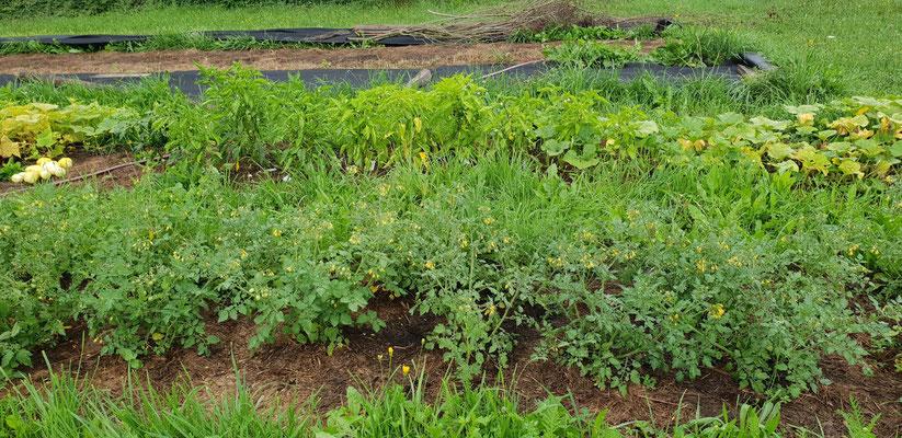 Am 4. August, Tiroler Tomaten