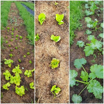 Am 4. August: Salat, Kohlgemüse und Zucchini