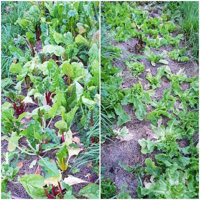 Bittersalate und Mangold waren Ziele von einem Feldhase.