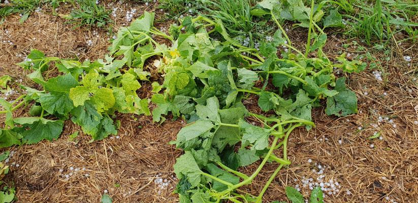 Dann kam der Hagel am 9. Juli - alles zerschreddert, Tomaten-Pflanzen teilweise gekappt. Ob die Pflanzen sich erholen werden?