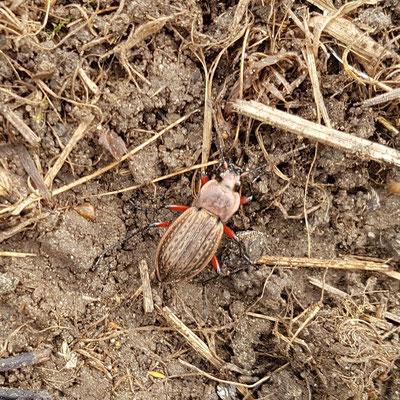 Eine (noch) unbekannte Käferart, die 2018 beobachtet wurde.