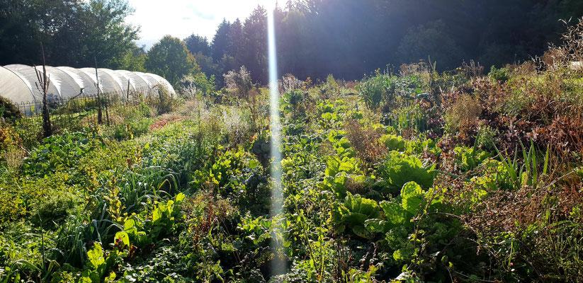 Mischkultur, Flächenkompostierung, Saatgutproduktion im Oktober.