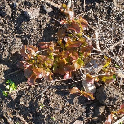 Eichblattsalat, selbst-ausgesät