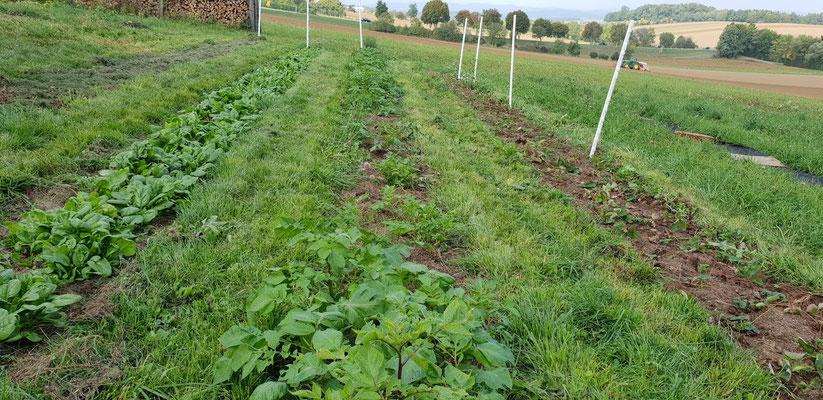 """Im unteren Bereich wachsen Spinat, """"Christmas Potatoes"""" und Erdbeere gut heran."""