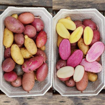 Farbenfrohe Kartoffelsorten, die weniger ertragreich aber dafür hoch im Geschmack sind