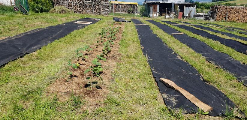 Die ersten Pflanzen, Physalis, Honeynut-Kürbis und Paprika von Gartli Vielfaltsgärtnerei wurden am 2. Juni gesetzt - früher als geplant starte ich mit dem Anbau!