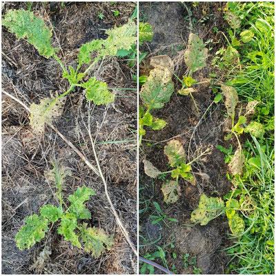 Brassicaceae-liebende Erdflöhe / Flohkäfer sind immer noch da und durchlöchern sämtliche Kohlpflanzen, von Grünkohl bis hin zu Kohlrabi. Die Keimlinge von Radieschen sind auch vernichtet, denn sie gehören zur Brassicacae-Familie.