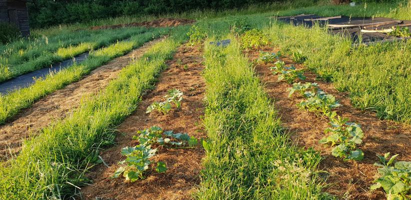 Die ersten zwei Beete sind nun voll mit wärmeliebenden Sorten, primär mit Pflanzen von Gartli Vielfaltsgärtnerei (Kürbis, Zitronengurken, Paprika, Physalis, Tomaten).