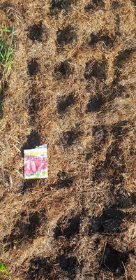 So habe ich sie gesät: Löcher im Mulch gemacht und Samen einfallen lassen.